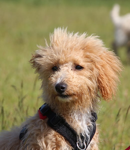 dog training puppy clasees Banstead Epsom Ewell Cheam Woodmanstern Coulsdon Purley Caterham Chessington Ewell