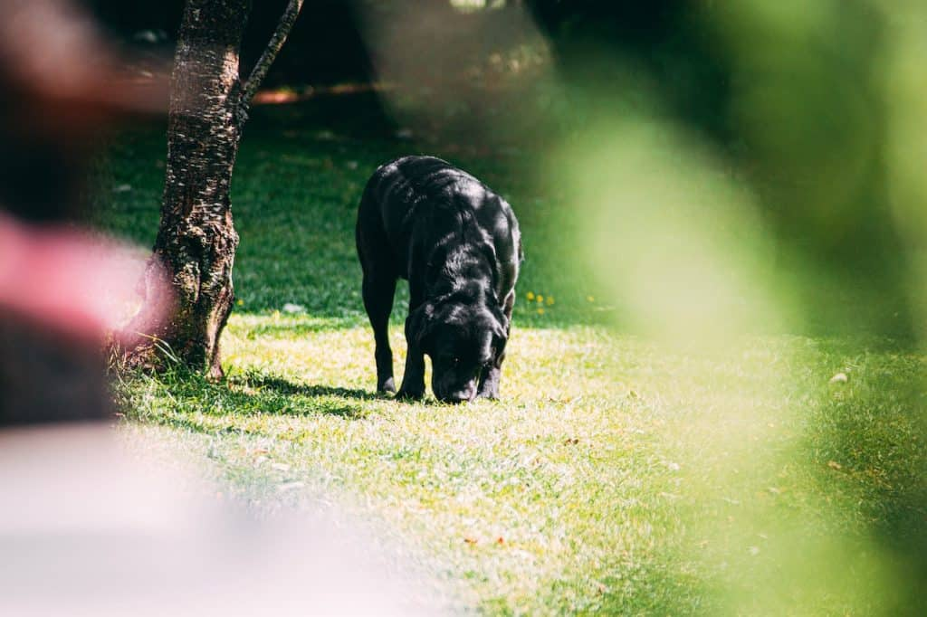 scentwork for dogs black dog sniffing ground