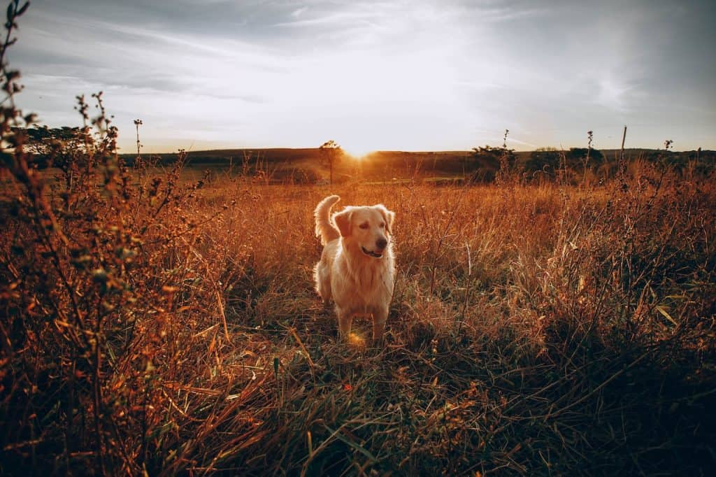 golden retriever dog in field looking at livestock in distance