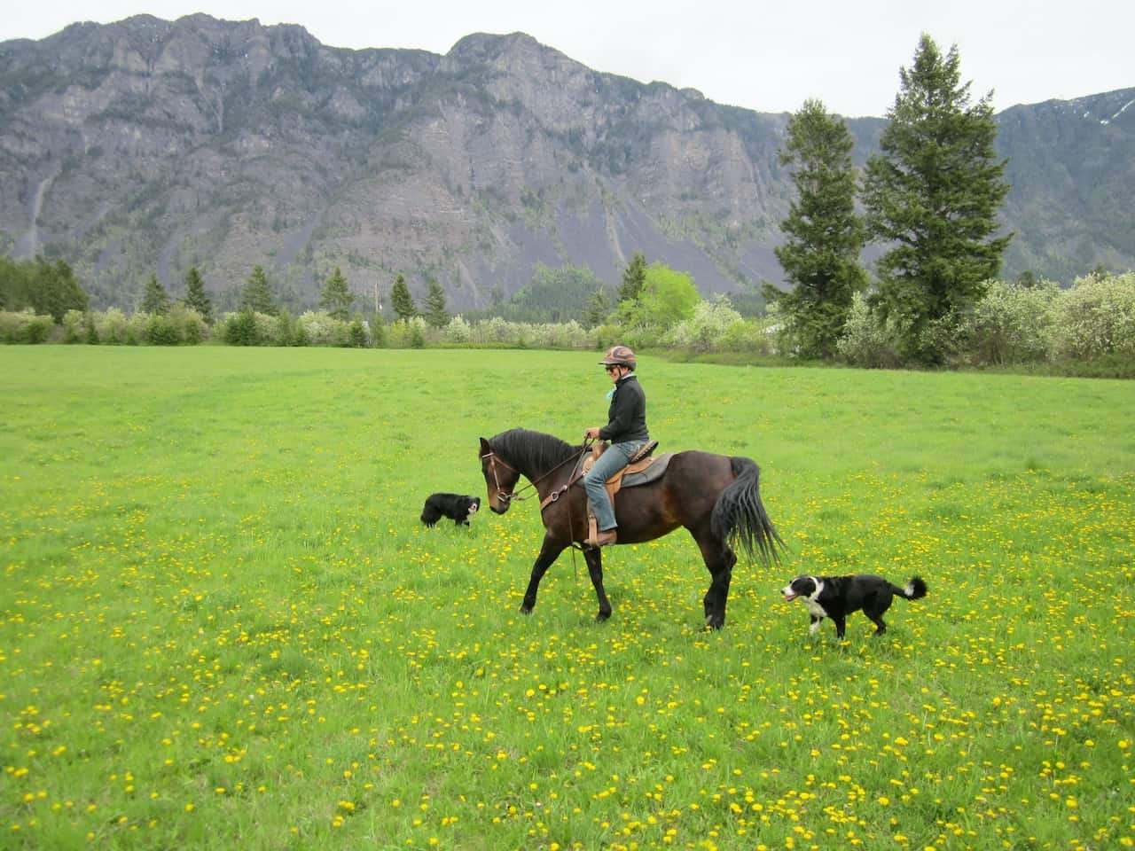 Your dog and livestock - horse rider and 2 dogs in field