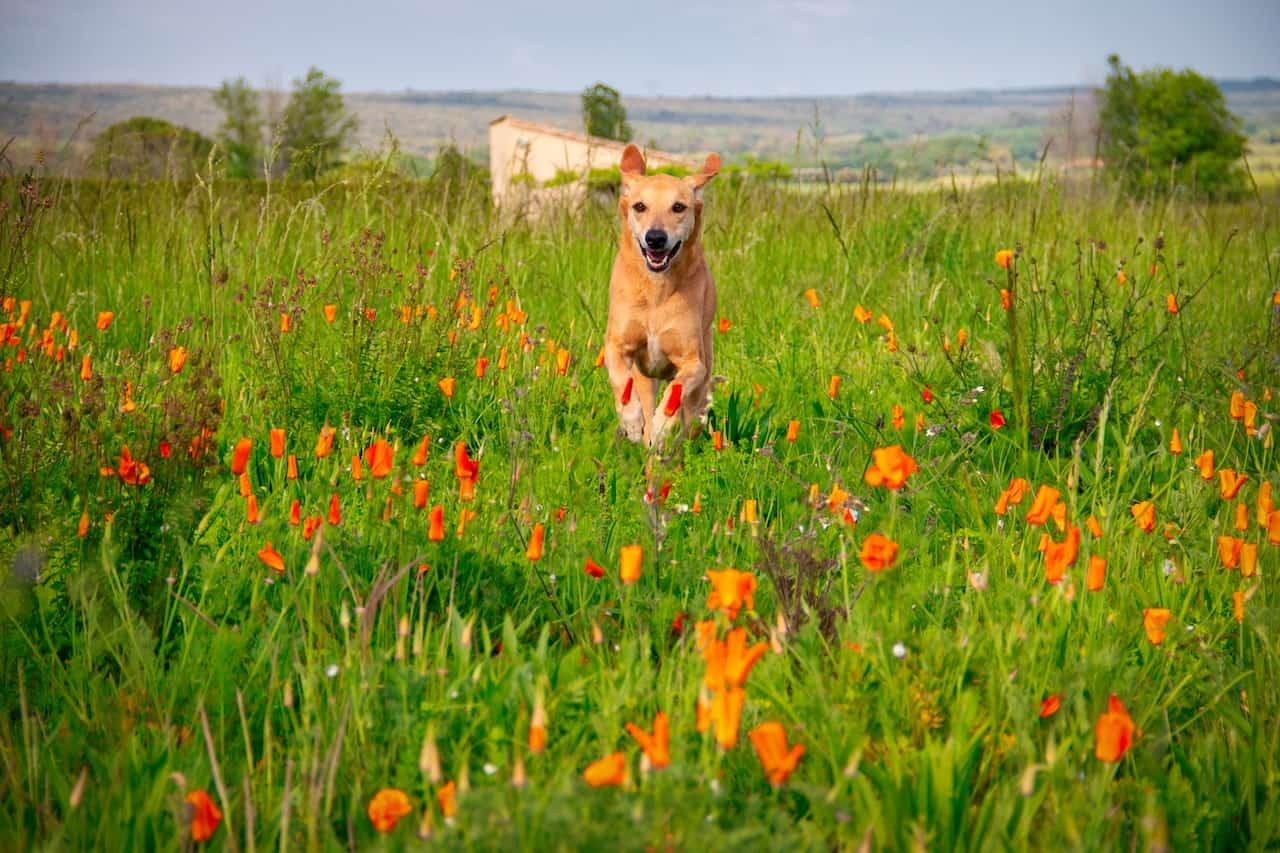 dog recall training - dog running towards you