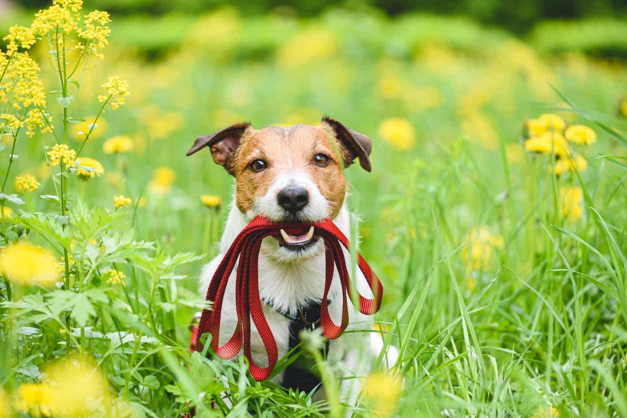 loose lead training - dog with lead