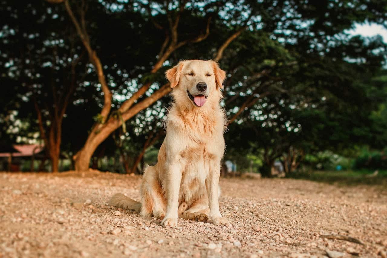 golden retriever dog enrichment ideas