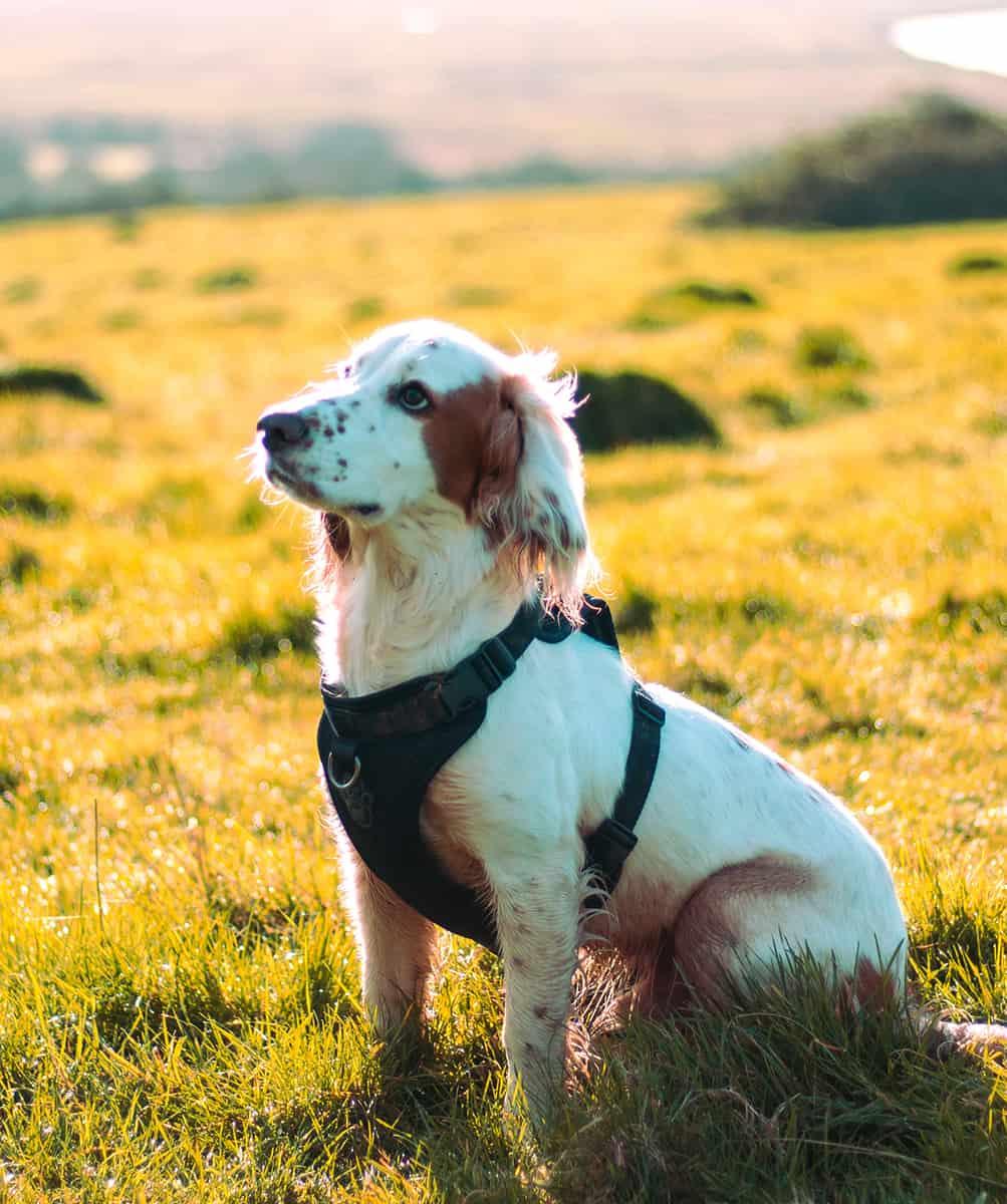 Puppy Gundog training classes